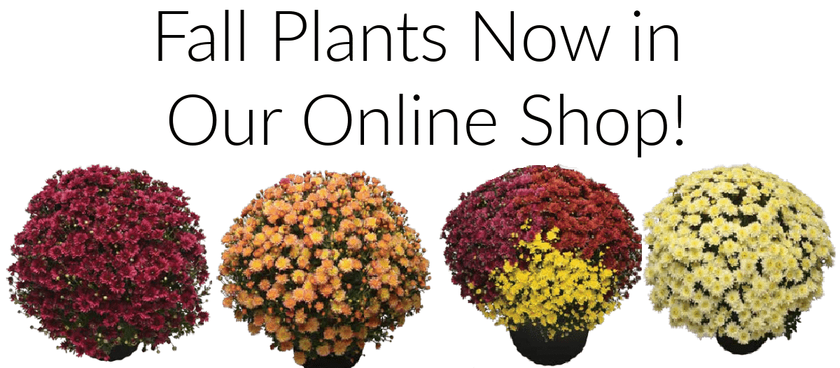 Mums now In Online Shop